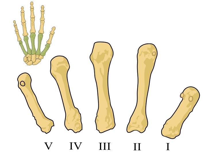 Huesos de la mano